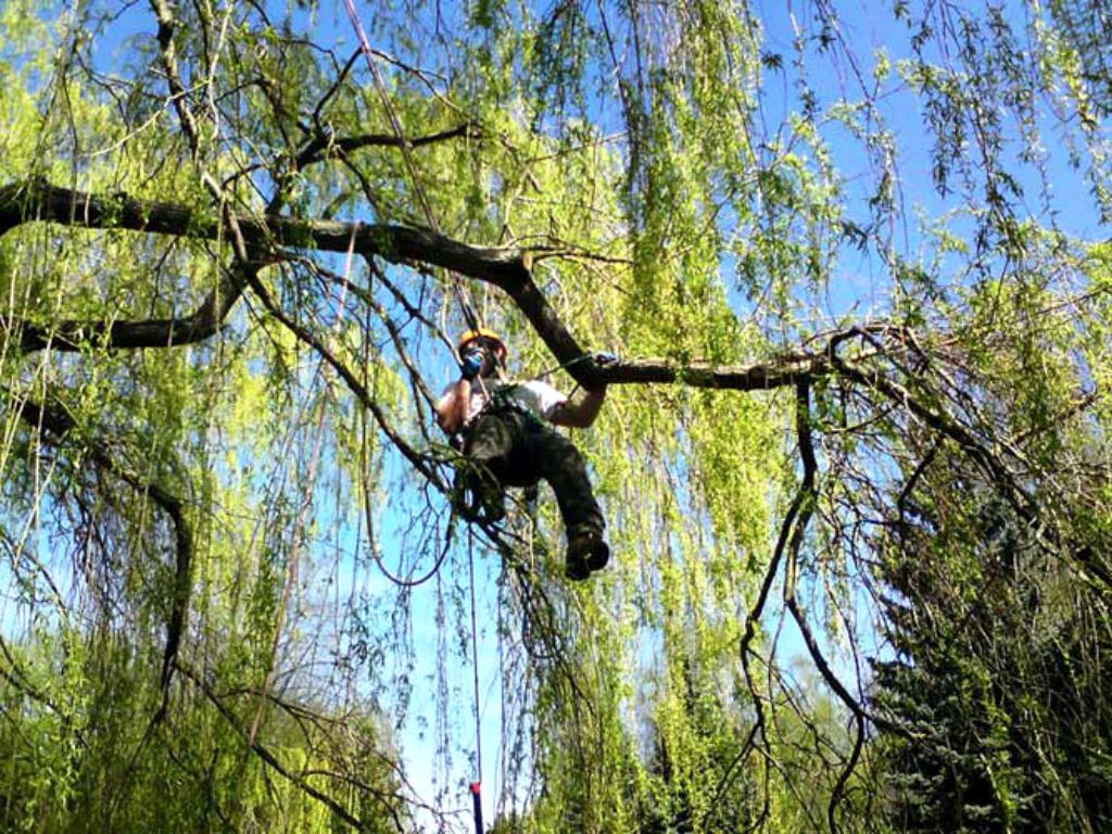 Adjustment of damaged branches in the crown