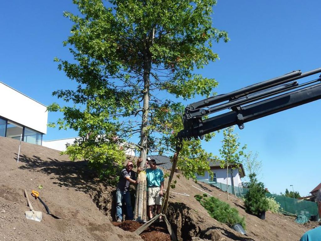 Twelve metres tall and weighing 1.5 tonnes, the tree to be planted