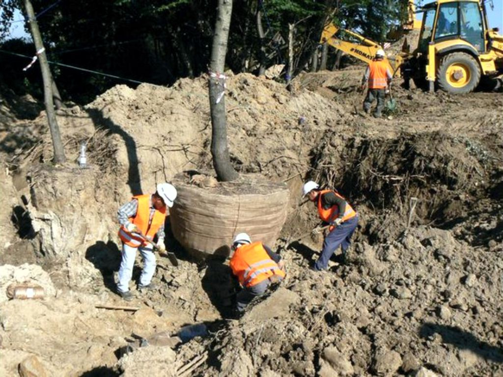 Replanting of mature trees 50 years old before the construction of the new site