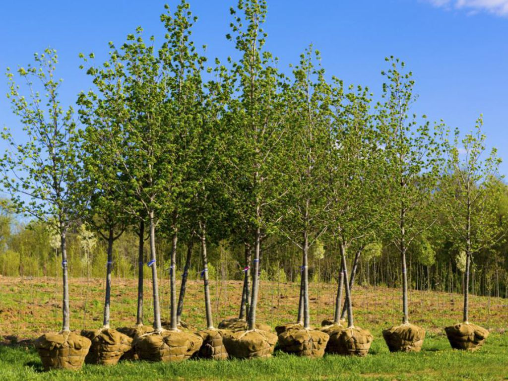 Trees in bales before placement in the landscape
