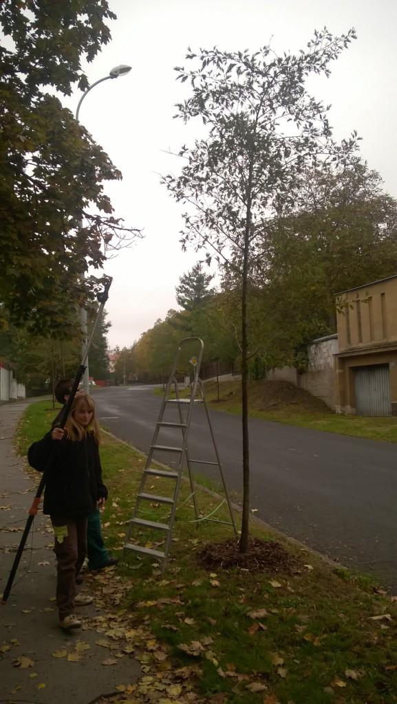 Výchovný řez stromů