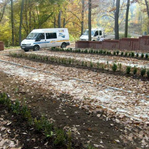 Buxus planting in the cemetery