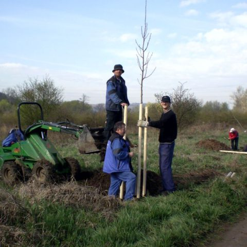Planting of lime trees along the II.class road